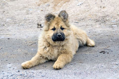 Puppy. Fluffy puppy on a road Stock Images