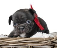Puppy Franse buldog stock afbeeldingen