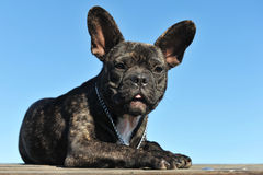 Puppy french bulldog Stock Image