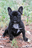 Puppy french bulldog Royalty Free Stock Photo