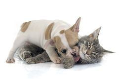 Puppy french bulldog and cat Royalty Free Stock Photo