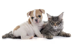 Puppy french bulldog and cat Stock Photos