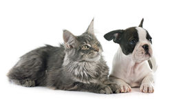 Puppy french bulldog and cat Stock Photography