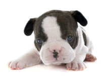 Puppy french bulldog Stock Photo
