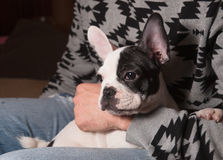 Puppy french bulldog in the lap of a person Royalty Free Stock Photos