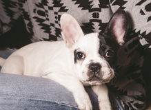 Puppy french bulldog in the lap of a person Royalty Free Stock Photo