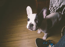 Puppy french bulldog in the lap of a person Stock Photography