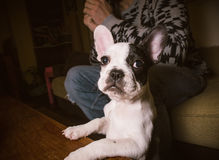 Puppy french bulldog in the lap of a person Stock Images