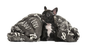 Puppy French Bulldog in a pillow, 2 months old Royalty Free Stock Image
