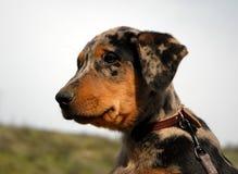 Puppy french shepherd Stock Photos