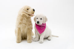 Puppy and friend. This puppy has a friend royalty free stock images
