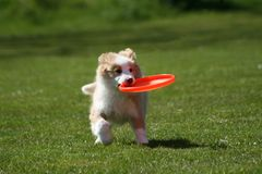 Puppy with frisbee Royalty Free Stock Photo