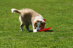 Puppy with frisbee Stock Photography