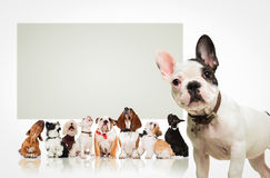 Puppy  in front of  many dogs looking up at billboard Stock Photography
