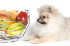 The puppy and fruit. The puppy of the spitz-dog and fruit Stock Photo