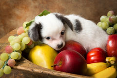 Puppy in a fruit bowl Royalty Free Stock Image