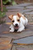 Puppy Fun. A small cute puppy chewing on a stick stock photos