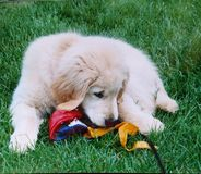 Puppy fun 2. Golden retriever pup inspects toy Royalty Free Stock Image