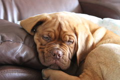Puppy on funiture. Dogue de bordeaux puppy laying on the sofa Royalty Free Stock Image