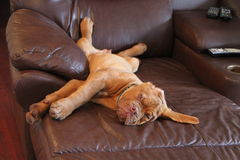 Puppy on funiture. Dogue de bordeaux puppy laying on the sofa Stock Photography