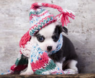 Puppy funnily Dressed for hat knit. Chihuahua puppy funnily Dressed for hat knit Royalty Free Stock Photography