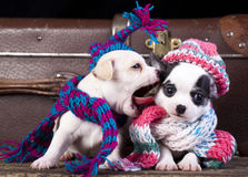 Puppy funnily Dressed for hat knit. Chihuahua puppy funnily Dressed for Cold Weather Royalty Free Stock Photos