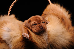 The puppy fur in the basket Stock Images