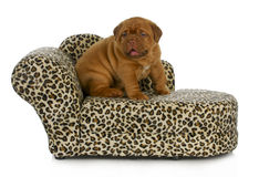 Puppy on the furniture Royalty Free Stock Photo