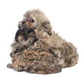 Puppy gekleurd schoothondje royalty-vrije stock foto's