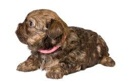 Puppy gekleurd schoothondje in studio royalty-vrije stock foto