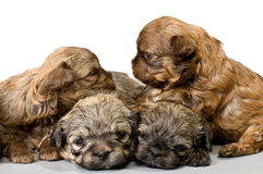 Puppy gekleurd schoothondje in studio royalty-vrije stock afbeeldingen