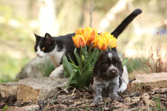 Puppy of German Quail Dog with cat in the garden Royalty Free Stock Image
