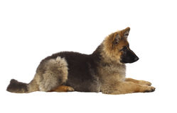 Puppy of german shepard. Dog portrait on white background Royalty Free Stock Photo