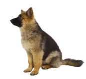 Puppy of german shepard dog. Portrait on white background Royalty Free Stock Image