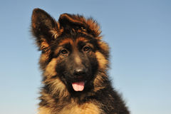 Puppy german shepherd Royalty Free Stock Images