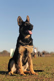 Puppy german shepherd Royalty Free Stock Photos