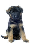 Puppy german shepherd Stock Images