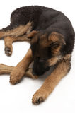 Puppy of German Shepherd Stock Photos