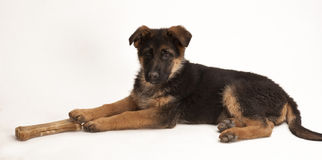 Puppy of German Shepherd Stock Images