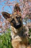 Puppy german shepherd Royalty Free Stock Photography