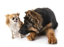 Puppy german shepherd and chihuahua. In front of white background stock photos
