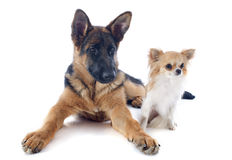 Puppy german shepherd and chihuahua Royalty Free Stock Image