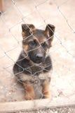 Puppy german shepherd dog Stock Photography