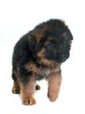 Puppy german shepherd Stock Image