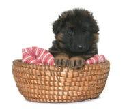Puppy german shepherd Stock Photo