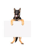 Puppy German Shepherd holding a banner. Puppy German Shepherd standing on hind legs holding a banner isolated on white background Stock Photo