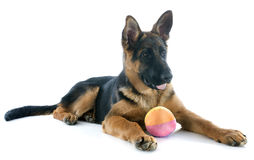 Puppy german shepherd Royalty Free Stock Image