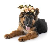 Puppy german shepherd. In front of white background stock image