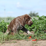 Puppy of German Shorthaired Pointer moving Royalty Free Stock Images