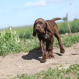 Puppy of German Shorthaired Pointer running Stock Images